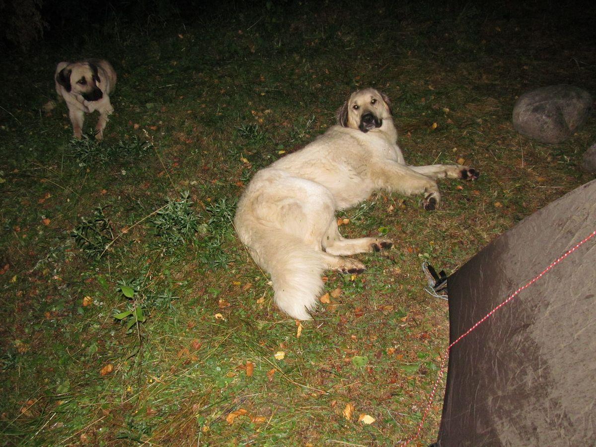 Кавказ 2018. Ущ. Тютю-су. Ночью в гости пришли собаки.